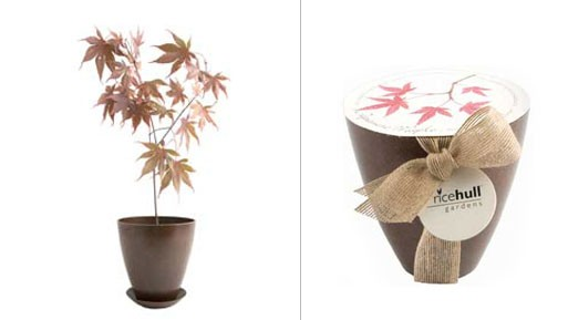 Japanese Maple, Bio-Degradeable Pot